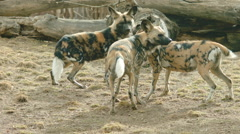 African Wild Dog Pack Eating a Carcass Stock Footage