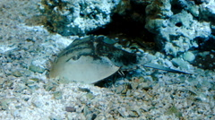 Horseshoe Crab Digging Underwater Stock Footage