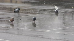 Stock Video Footage of Flock of pigeons bathing on downpour and looking for food, puddles, rainstorm.