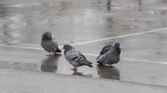 Three pigeons cleansing feathers on rain, birds bathing in puddle on downpour. Stock Footage