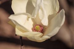 White magnolia flower - stock photo