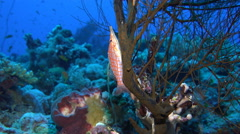 Colorful longnose hawkfish on a red gorgonian, Oxycirrhites typus - Red Sea Stock Footage