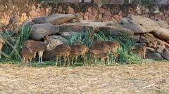 Chital, Cheetal, Spotted deer, Axis deer eating grass - stock footage