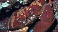 Convex reef crab hidden in a underwater hole - Carpilius convexus, Red Sea - stock footage