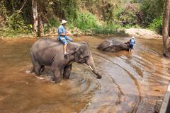 Elephants show daily activities - stock photo