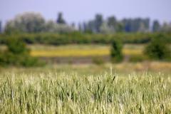 green wheat field landscape spring season - stock photo