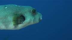 Stellate puffer fish swims in the blue, Arothron stellatus - Red Sea, Sudan Stock Footage