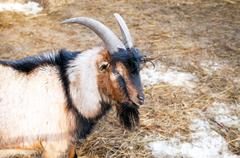 Head of brown and gray goat at the farm close up Stock Photos