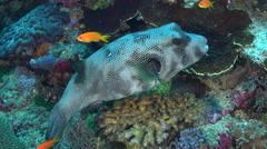 Stellate puffer fish in a coral reef. Arothron stellatus - Red Sea, Sudan - stock footage