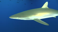 Silky shark swims towards the camera. Face to face in underwater - Red Sea - stock footage