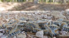 Closeup of processionary caterpillar Stock Footage