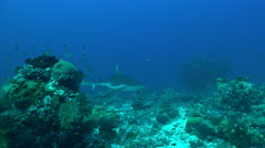 Gray reef shark swims over the coral reef - Red Sea, Sudan Stock Footage
