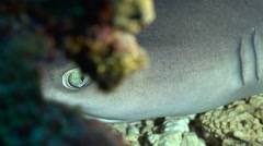 White tip reef shark hidden in a hole - Eye of shark Stock Footage
