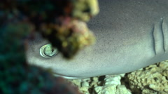 White tip reef shark hidden in a hole - Eye of shark - stock footage