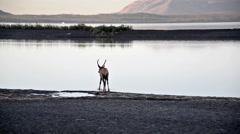 Elk and Yellowstone Lake - stock footage