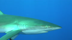 Silky shark swims close to my camera - Red Sea - stock footage
