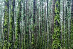 many trees inside forest overgrown with moss - stock photo