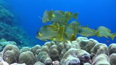 School of colourful tropical black spotted sweetlips fish - Red Sea Stock Footage
