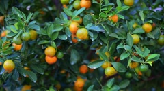 Kumquat trees for sale before Tet - Vietnamese New Year - stock footage