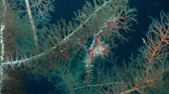 Ornate ghost pipefish close up shot - Solenostomus paradoxus, Red Sea Stock Footage