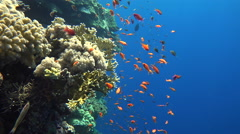 School of small tropical fish in the coral reef - anthias, Red Sea - stock footage