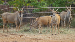 group waterbuck (Kobus ellipsiprymnus) with curved horns eating grass - stock footage