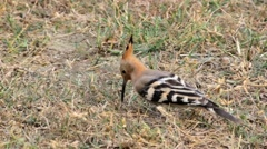 Hoopoe bird digging insects Stock Footage