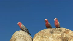 Three galahs at the pinnacles in western australia Stock Footage
