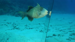 Titan triggerfish attack the mirror. Self awareness experiment, mirror test  Stock Footage