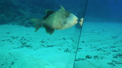 titan triggerfish attack the mirror. Self awareness experiment, mirror test  - stock footage