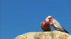 Close up of two galahs preening Stock Footage