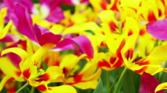 Plants tulips flower blooming Stock Footage
