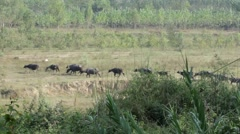 Buffalo walking in line with Gujjar Stock Footage