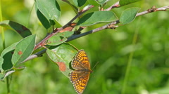 A brown butterlfy hanging on the stem - stock footage