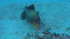 Titan triggerfish builds the nest on the sea floor - Red Sea Stock Footage