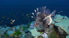 common lionfish over the coral reef - Red Sea, close up shot - stock footage