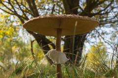 Stock Photo of Parasol Mushroom in Autumn