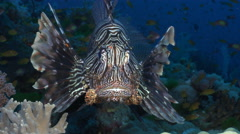 lionfish close up. face to face - Red Sea - stock footage