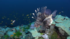 Common lionfish over the coral reef - Red Sea, close up shot Stock Footage