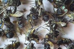 a lot of dead flies closeup - stock photo