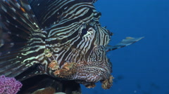 close up shot for the lionfish heads - Red Sea - stock footage