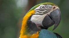 Blue-and-Gold Macaw in Natural Setting, Extreme Close Up Stock Footage