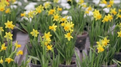 Close up of narcissus growing in greenhouse - stock footage
