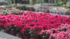 Pots with azaleas on the shelf in greenhouse - stock footage