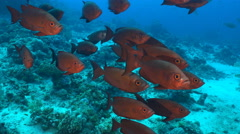 Group of red color tropical fish. Crescent tail bigeye fish, Priachantus hamrur - stock footage