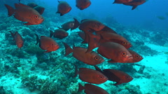 Group of red color tropical fish. Crescent tail bigeye fish, Priachantus hamrur Stock Footage