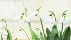 Snowdrops swaying in the wind Stock Footage