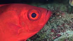 Red color tropical fish. Crescent tail bigeye fish, close up shot - Red Sea Stock Footage