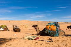 Camels with a load in the Sahara desert Stock Photos