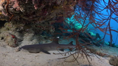 White tip reef shark lying on the sea floor. Shark hidden in a hole - Red Sea - stock footage
